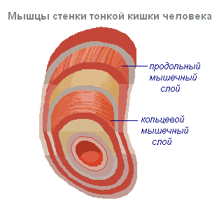 Процесс переваривания белков в организме человека