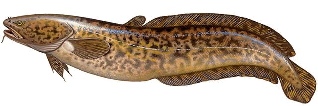 Налим: фото и описание рыбы, состав, калорийность, полезные свойства