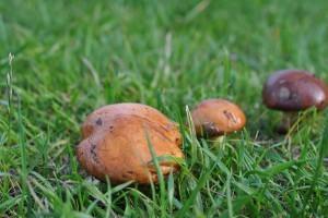 Грибы маслята: когда появляются и где растут