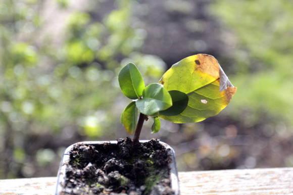 Гуми - лох многоцветковый: состав, полезные свойства