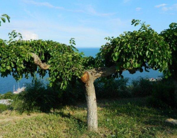 Шелковица: полезные свойства культурных сортов